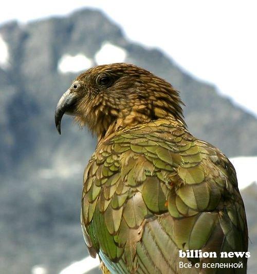 Хищный попугай Кеа (4 фото)