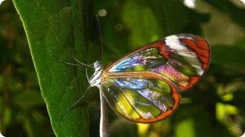 Самые необычные бабочки в мире 7 фото