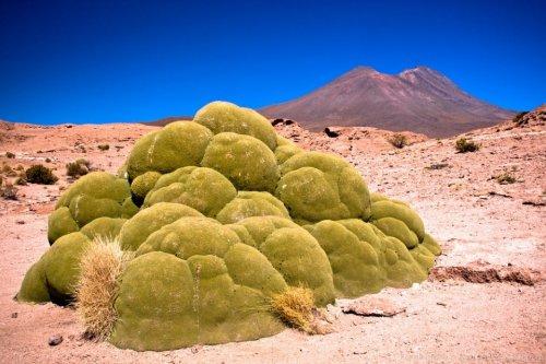 Интересное растение Ярета (3 фото)