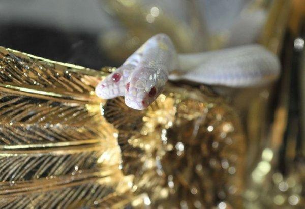 Двухголовая змея-альбинос (9 фото)