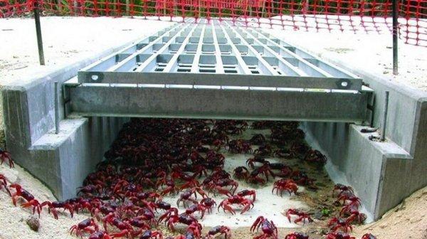 Миграция красных крабов с острова Рождества (11 фото)