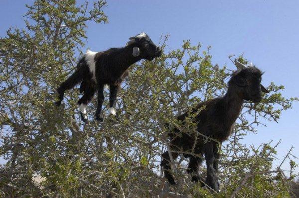 Марокканские козы (16 фото)