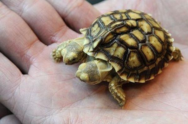 Черепаха с двумя головами (3 фото)