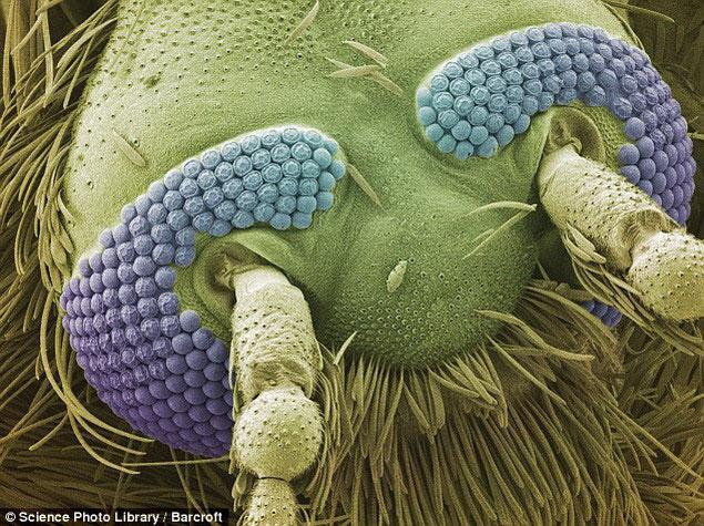 зубы у комара под микроскопом фото