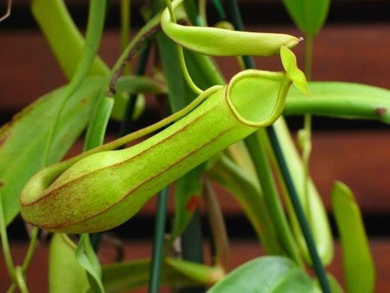 �������� Nepenthes spathulata �������� ���������� ����� ������ � ������ � �������.