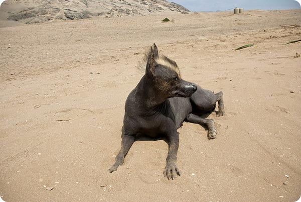 Перуанская голая собака (8 фото)