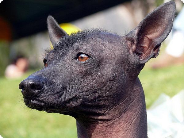 Голая собака из Перу