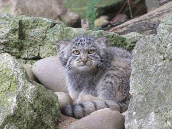 Зоопарк Bahnam Zoo представил детенышей кота манула (10 фото)