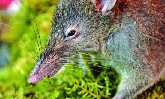 О беззубой крысе