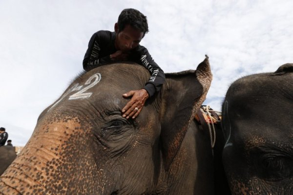Поло на слонах (17 фото)