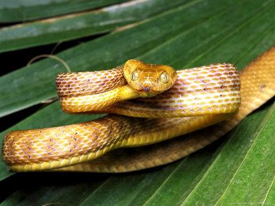 Коричневая бойга - змея, которая может висеть в воздухе