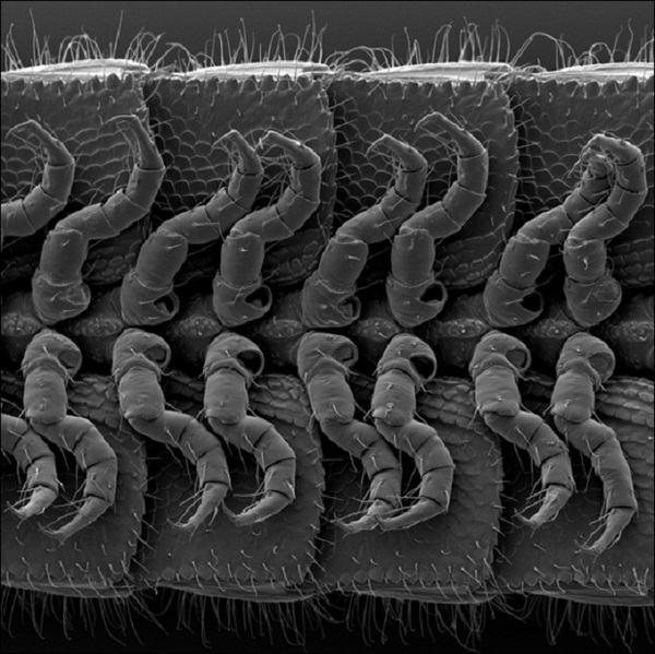 Обнаружено самое многоногое животное на Земле (5 фото)