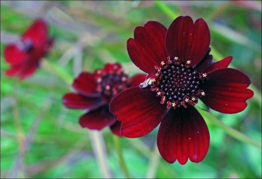 Цветок который пахнет шоколадом