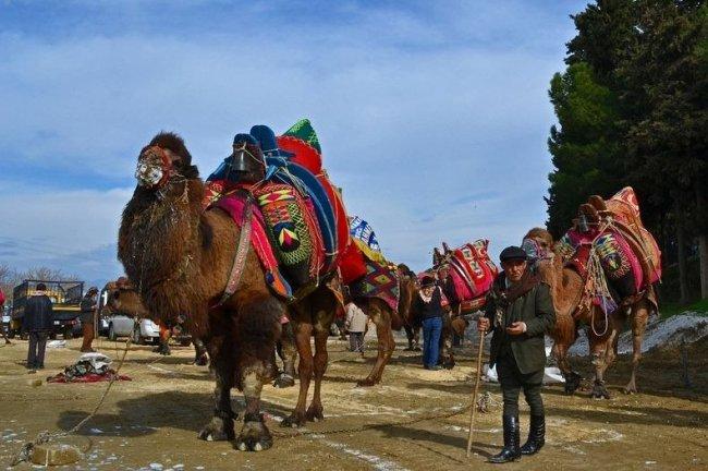 Борьба верблюдов в Турции (6 фото)