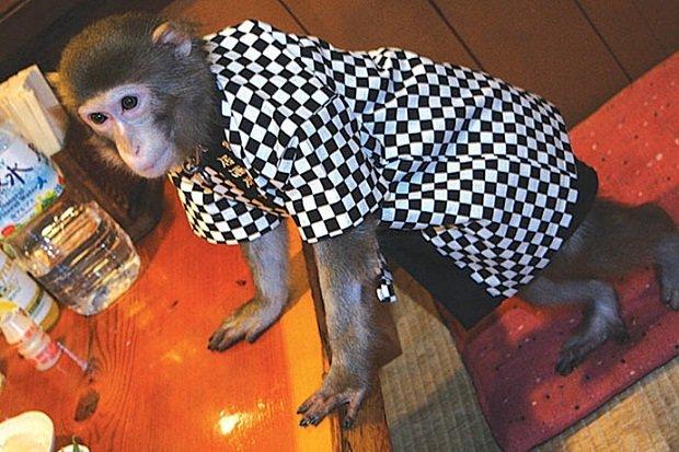 В японском ресторане официантами работают обезьяны (3 фото)