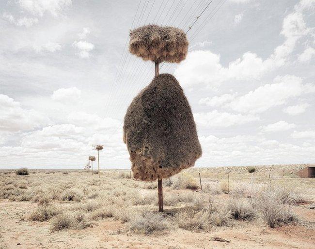 Гнезда ткачиков в пустыне Калахари (13 фото)