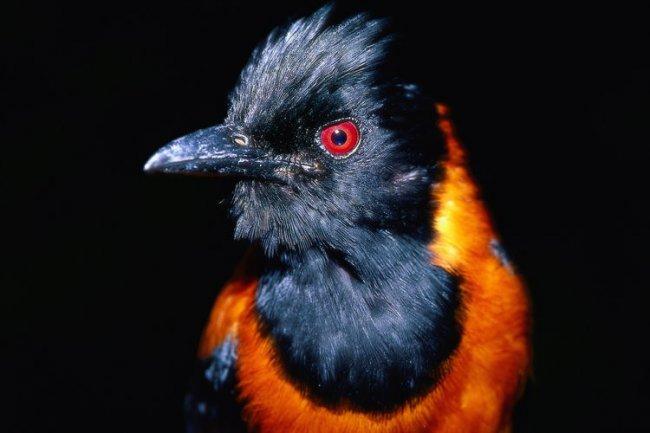 Питаху – ядовитая птица