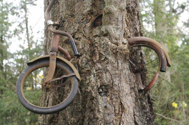 История велосипеда вросшего в дерево (6 фото)