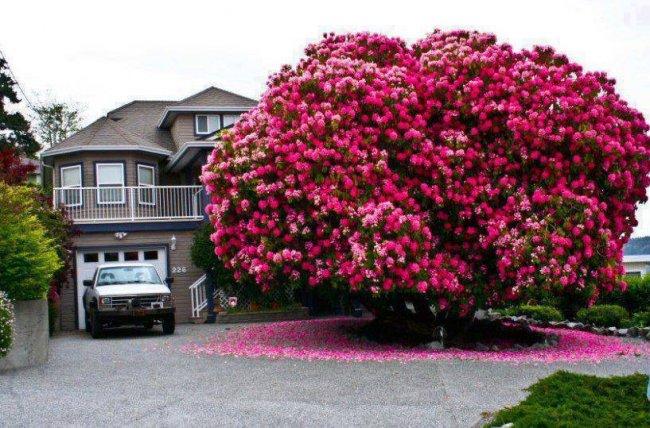 """Уникальное дерево Рододендрон """"Синтия"""" (3 фото)"""