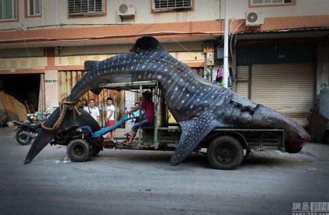 Китаец выловил тигровую акулу (6 фото)