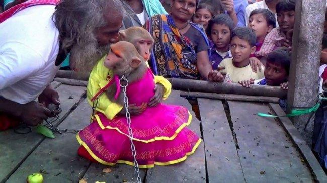 Свадьба обезьян в Индии (5 фото)