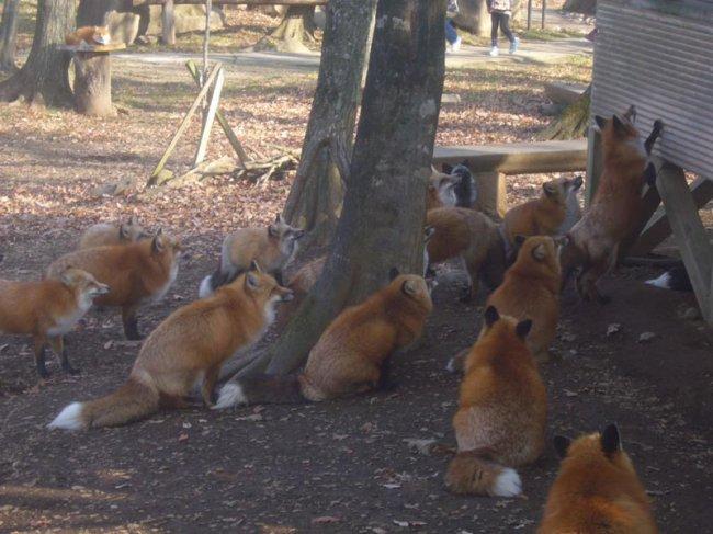 Деревня лисиц в Японии (8 фото)