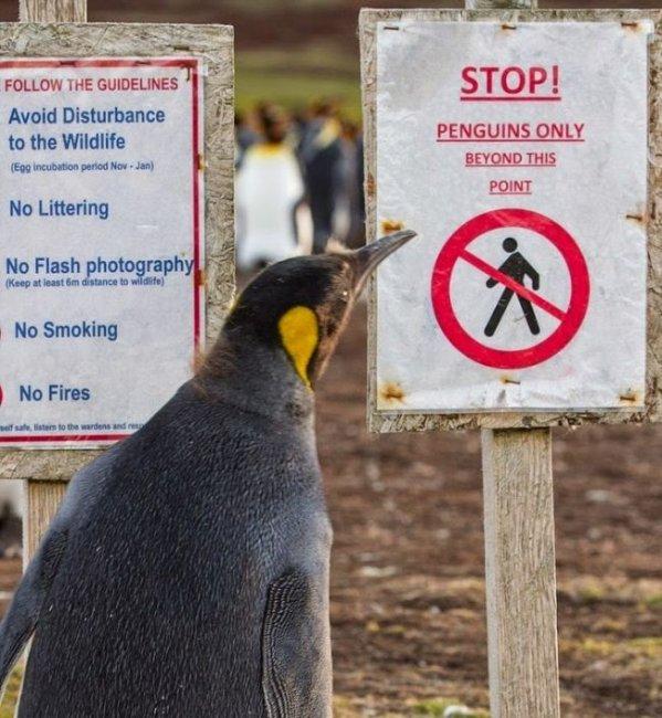 Как увеличилась популяция пингвинов на 100 % благодаря минному полю (4 фото)