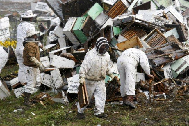 44 миллиона пчел оказались на улицах Сиэтла (10 фото)