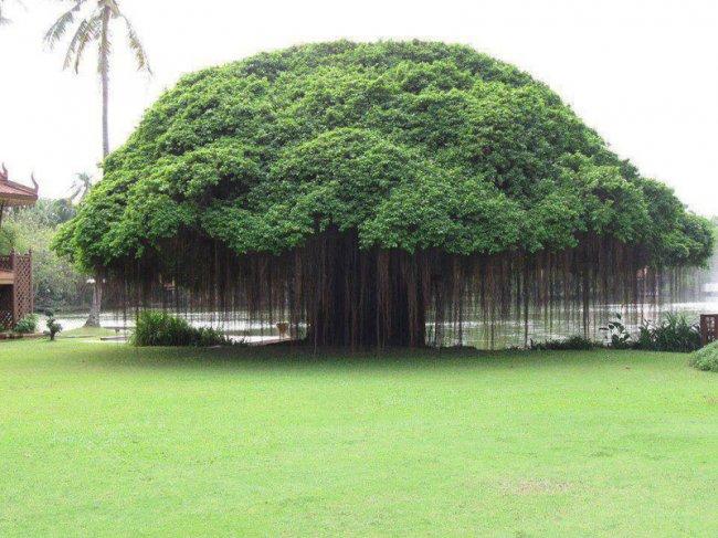 Дерево баньян (фото дня)