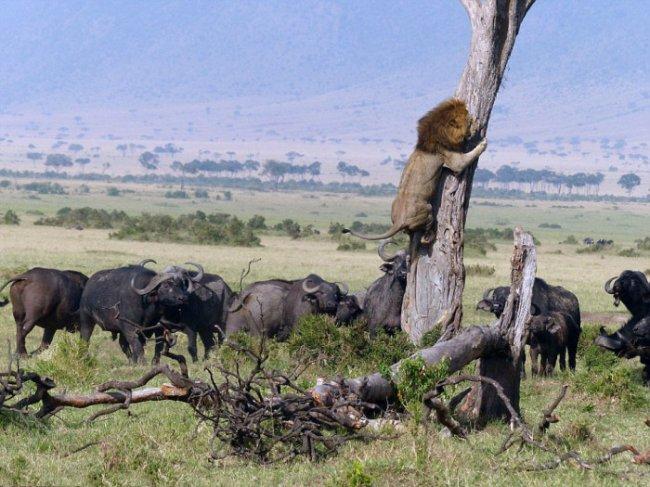 Лев убегает от буйволов (5 фото)