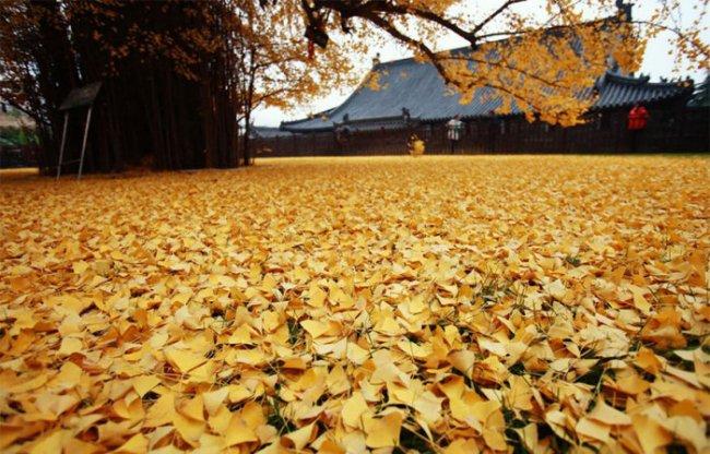 Опавшие листья дерева гинкго во дворе буддийского храма (5 фото)