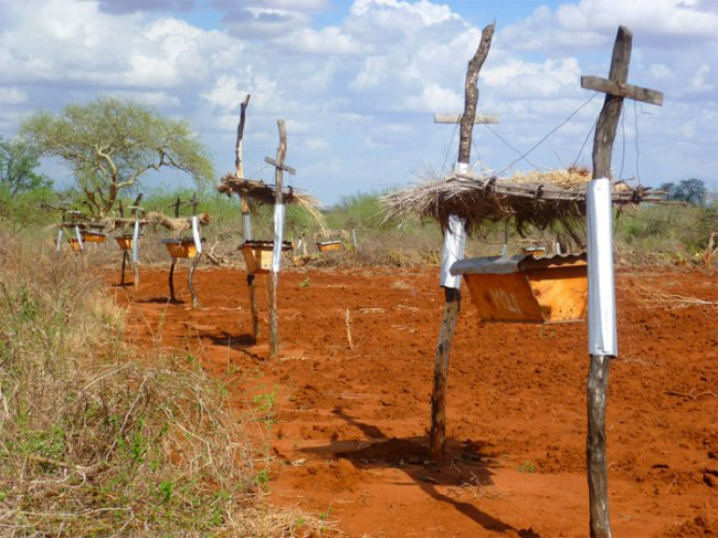 Защита полей африканских фермеров от набегов слонов
