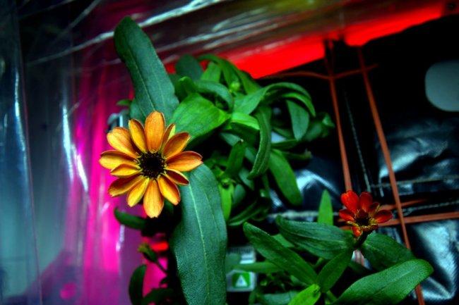 На борту МКС распустился первый цветок (фото дня)