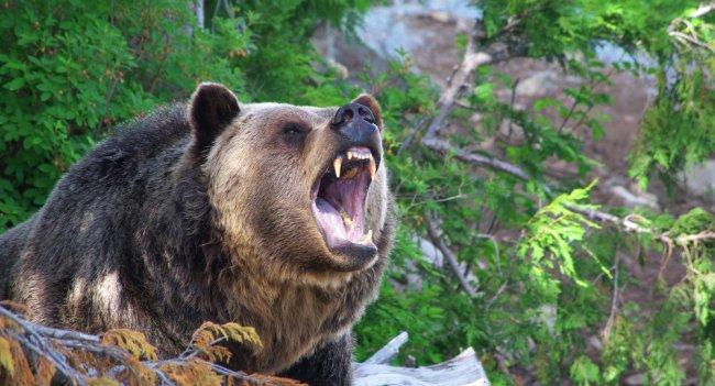 Как волки восстановили естественную среду обитания Йеллоустонского парка? (11 фото)