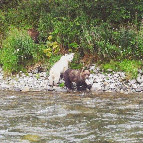 На Камчатке замечен бурый медведь в белом цвете (2 фото)