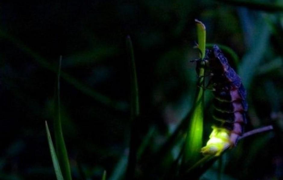 Откуда свет от светлячков (3 фото)
