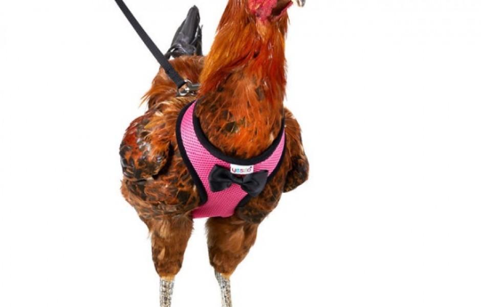 Поводок для выгула курицы или петуха (8 фото)