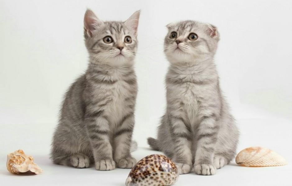 А вы знаете, когда опускаются уши у шотландских котят?