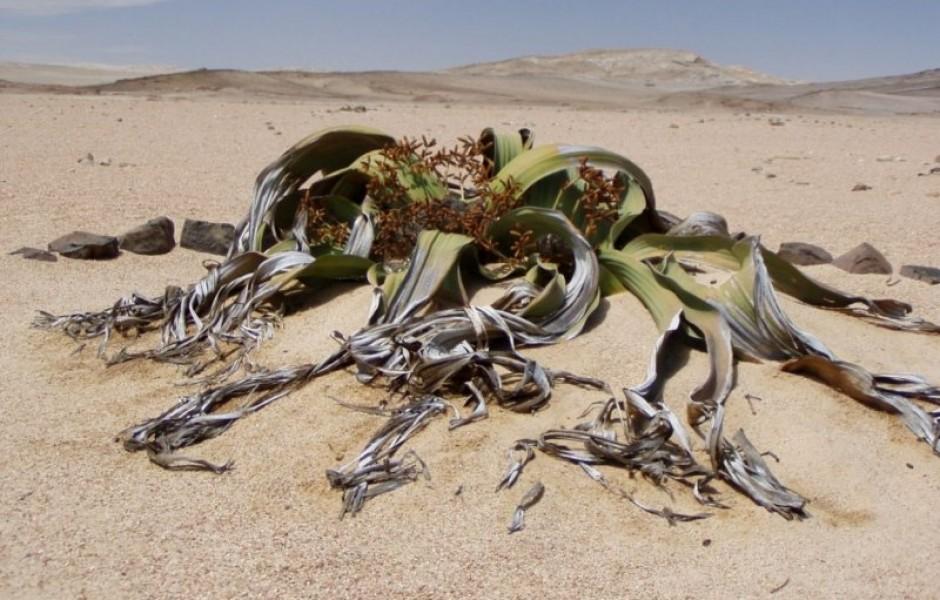 Вельвичия удивительная растёт 2000 лет