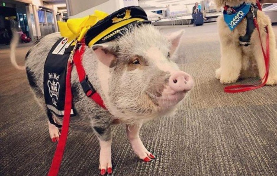 Свинья на службе в аэропорту Сан-Франциско (6 фото)