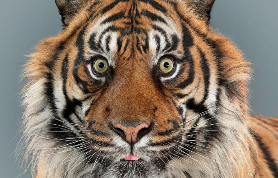 Потрясающие портреты больших кошек (10 фото)