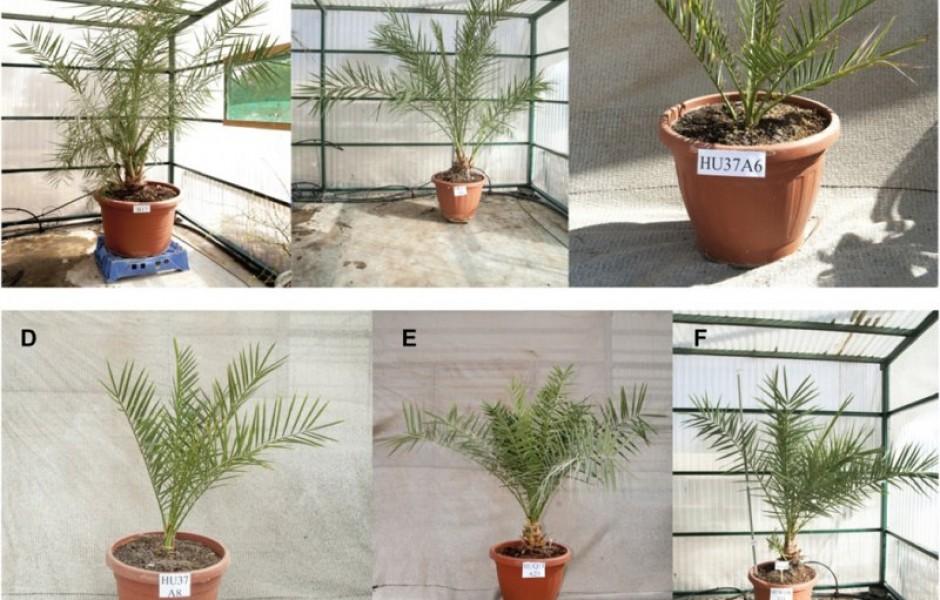 Ученые вырастили пальмы из древних семян времен царя Ирода