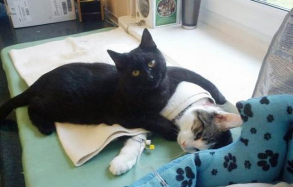 Сердобольный кот работает сиделкой в ветеринарной клинике