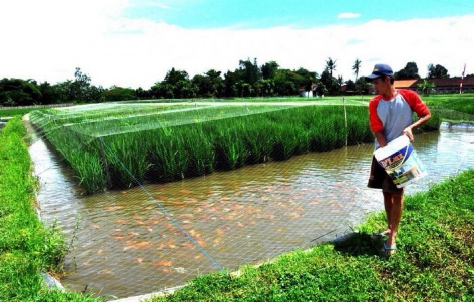 Зачем на рисовые поля запускают рыбу