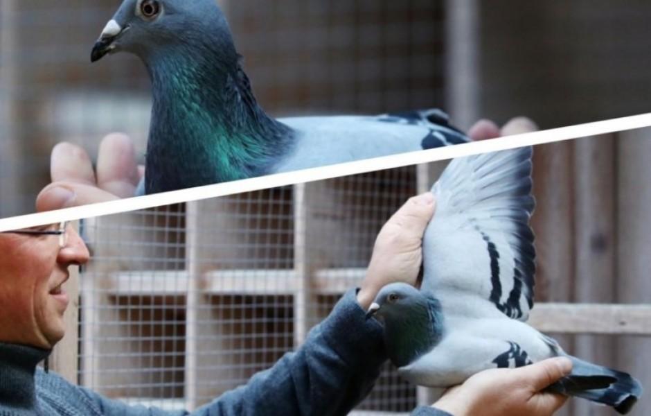 Этого голубя продали почти за 2 млн. долларов.