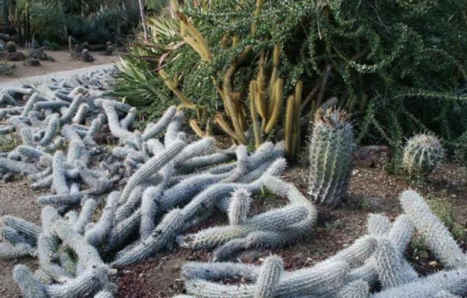 Ползучий Дьявол: мексиканский кактус, который умеет передвигаться по земле