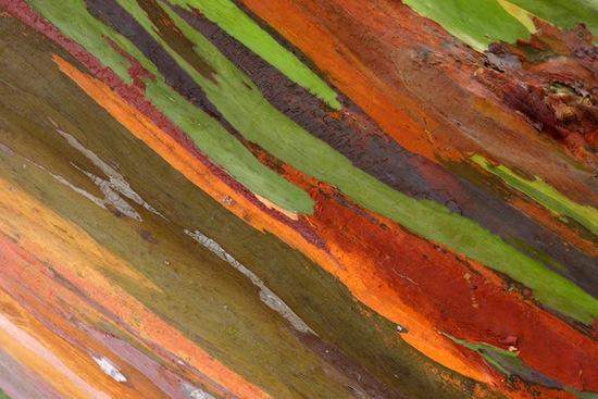 Радужное дерево с Филиппин (6 фото)