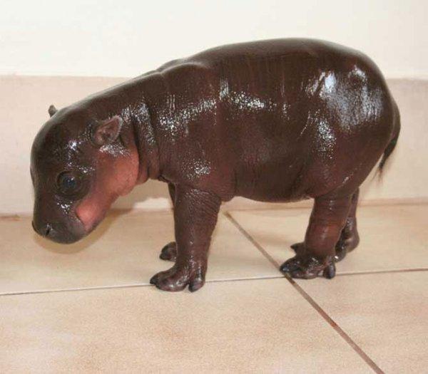Карликовый бегемот (9 фото)