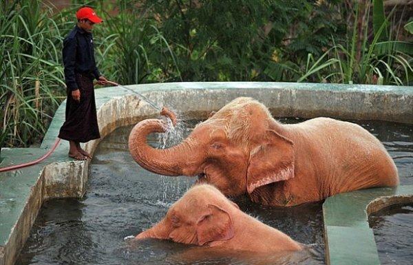 Розовые слоны существуют (4 фото)