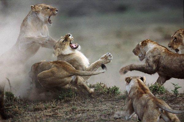 10 самых впечатляющих стычек диких животных (10 фото + видео)